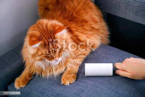 Woman hand with Lint roller removing animal hairs and fluff from gray couch. Ginger cat lying near.