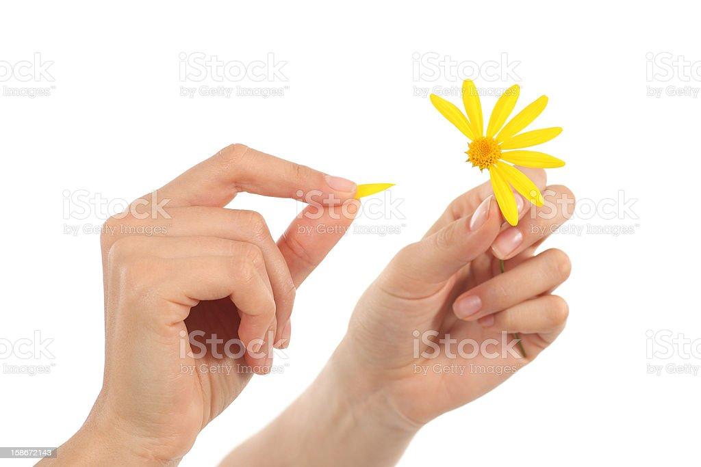 Woman hands defoliating a daisy stock photo