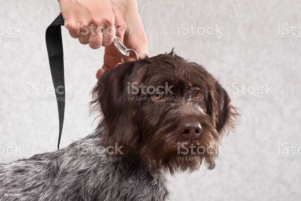 woman hands fastening the leash to collar of dog stock photo