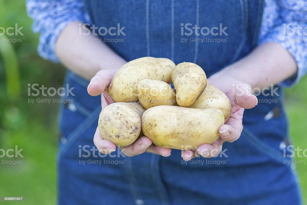 Woman hands holding fresh potatoes royalty-free stock photo