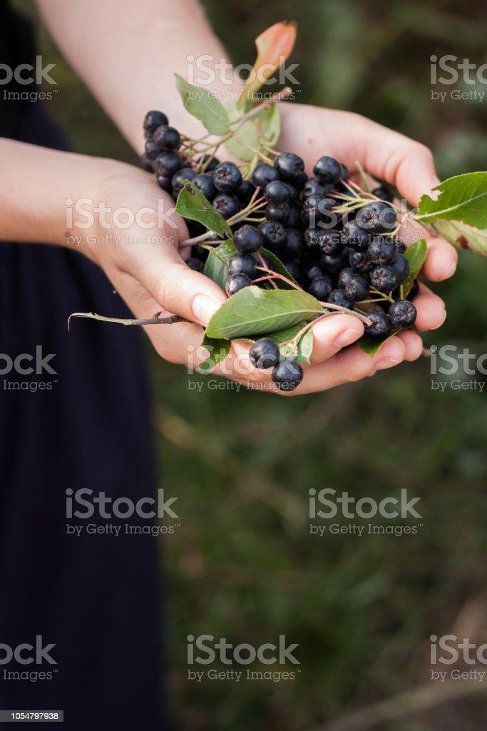Woman hands holds chokeberry in garden. – zdjęcie