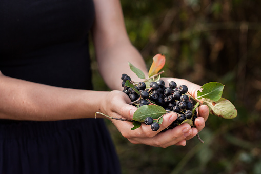 Woman hands holds chokeberry in garden.