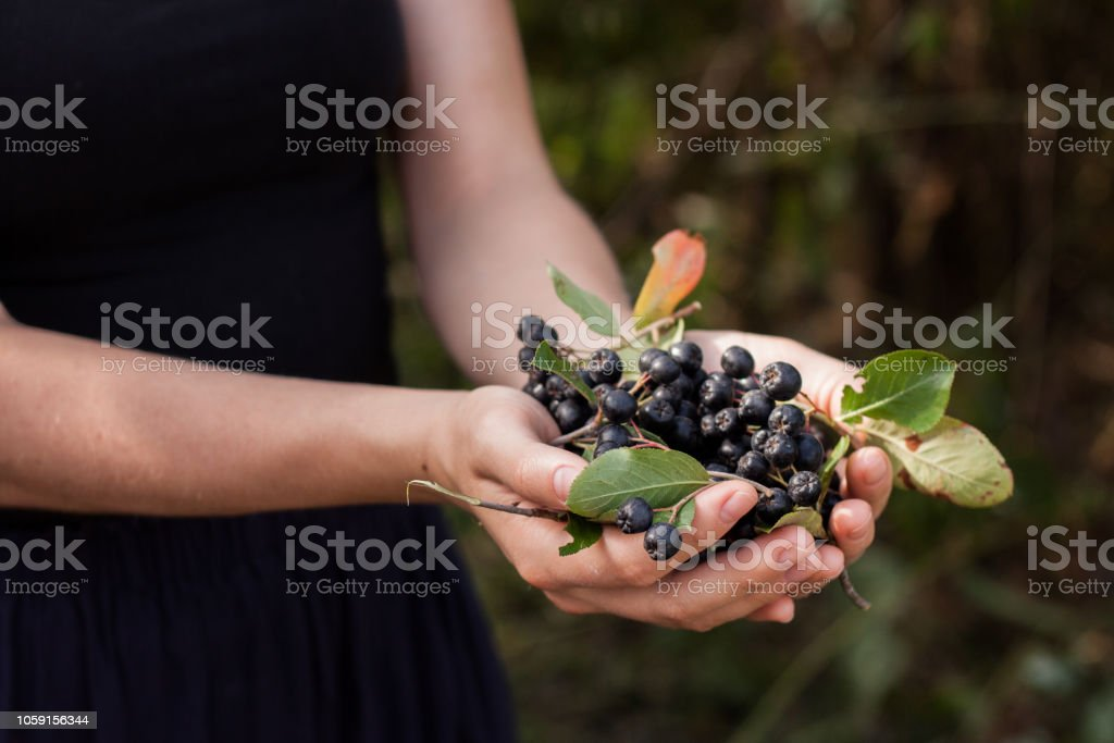 Woman hands holds chokeberry in garden. – zdjęcie