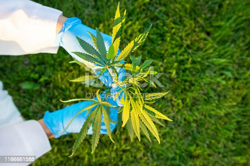 istock Woman hands in white coat and blue medical gloves holding green branch cannabis with five fingers leaves, marijuana for legalization medical oil hemp. 1166661588