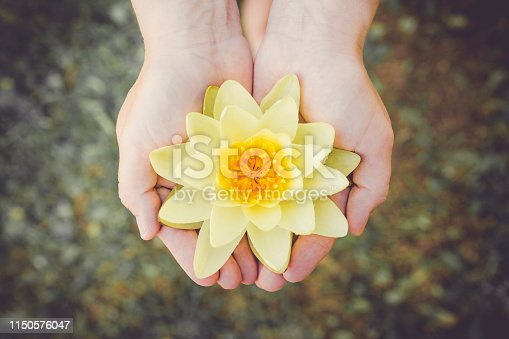 Woman hands palms hold tenderly large picked yellow water lily blossom. Nymphaea alba, also known as the European water lily, water rose or nenuphar. Inner peace concept.