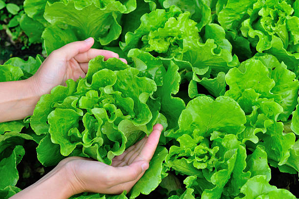 woman hands picking green lettuce in vegetable garden stock photo