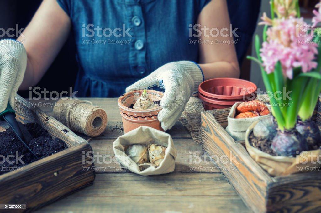 Woman hands planting hyacinth royalty-free stock photo