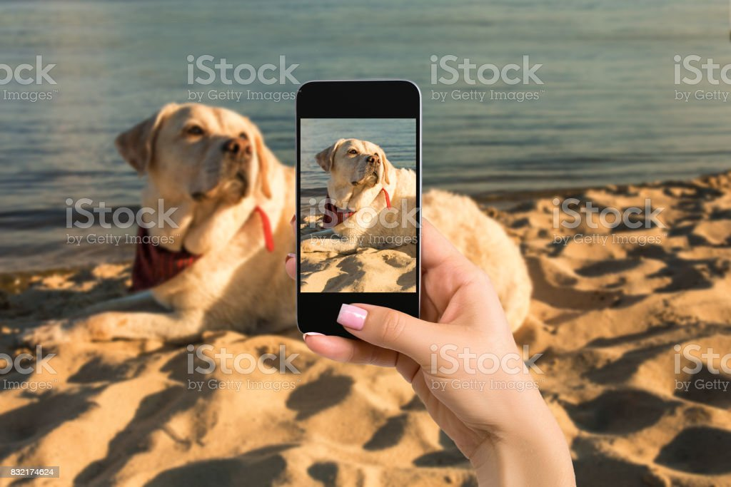 Woman hands with mobile cell phone to take a photo of labrador dog lying on the beach stock photo