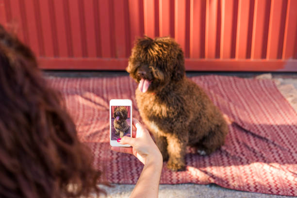 Woman hands with mobile smart phone taking a photo of Spanish water dog over red background. Happy dog. Outdoors portrait stock photo