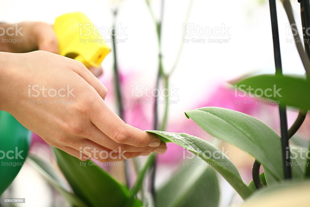 Woman hands with sprayer, sprayed on flower leaves stock photo