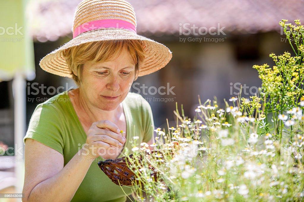 Woman Harvesting Chamomile royalty-free stock photo