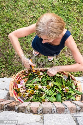 Woman in Summer Harvesting Echinacea Healing Medical Plant for Making Medicinal Tincture