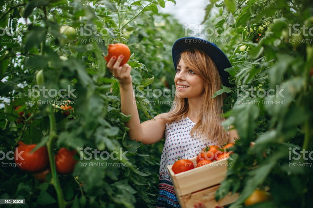 Woman harvesting fresh tomatoes from the greenhouse stock photo