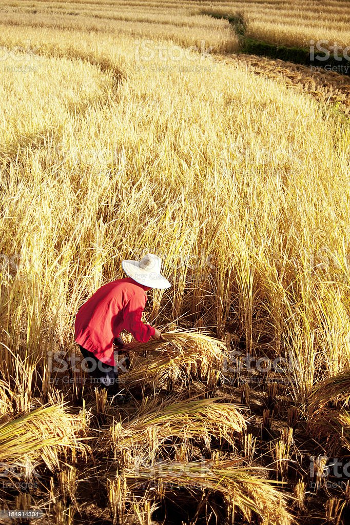Woman Harvesting Rice By Hand stock photo