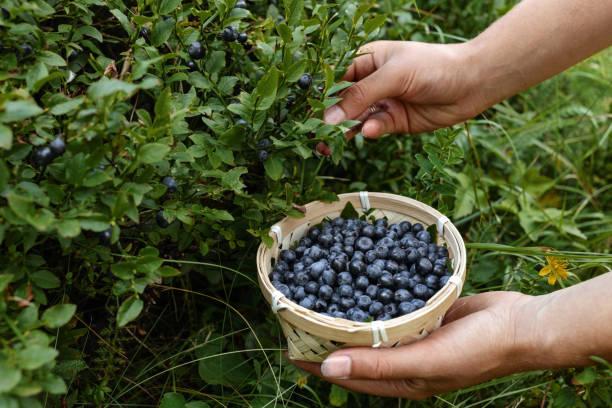 mujer, cosecha de arándanos maduros de un arbusto - negras maduras fotografías e imágenes de stock