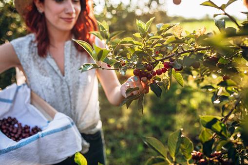 Woman harvesting sour cherries