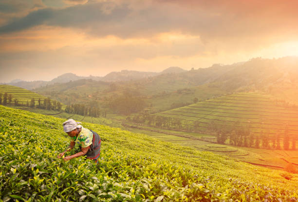Woman harvesting tea leaves stock photo