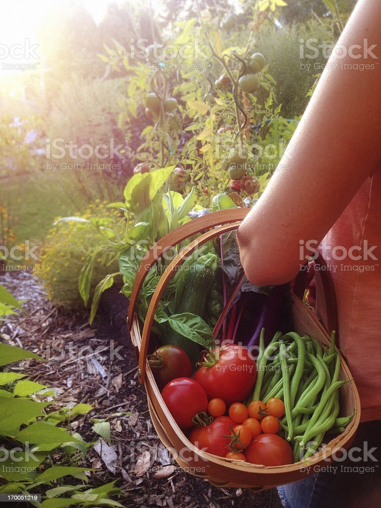 Woman Harvesting Tomatoes, Beans and other Vegetables from the Garden stock photo