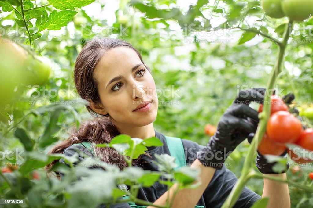 Woman harvesting tomatoes in greenhouse stock photo