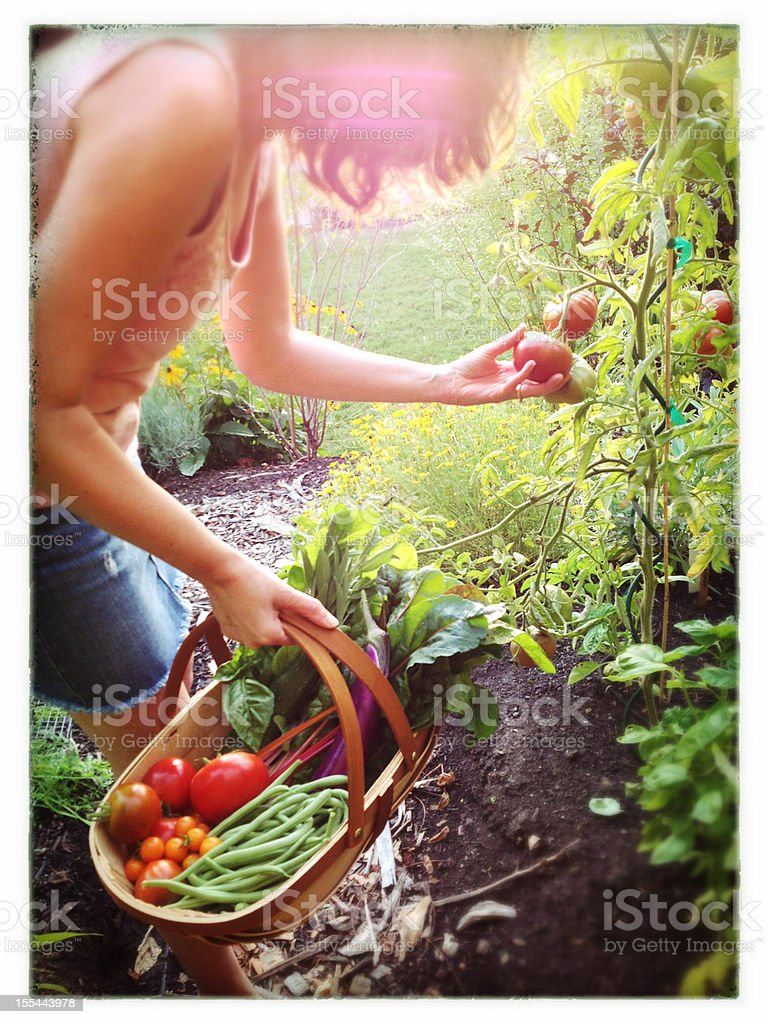 Woman Harvesting Vegetables in a backyard garden stock photo