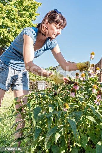 Woman Herbalist Picking Narrow-Leaved Purple Coneflower - Echinacea  Plant in Homegrown Herbs Garden