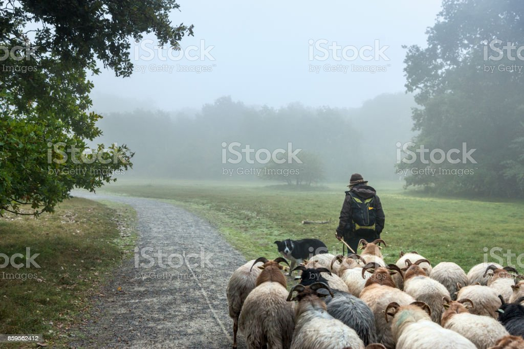 Woman herding her flock Sheep towards new meadows in the early foggy  morning stock photo
