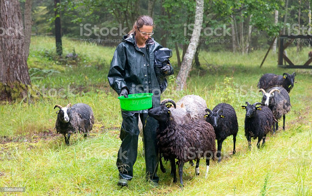 Woman herding sheep in a rainy meadow in Sweden royalty-free stock photo