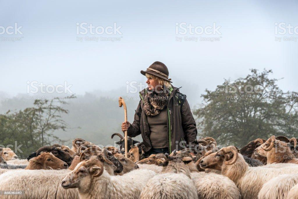 Woman herding sheep Sheep early morning at sunrise stock photo