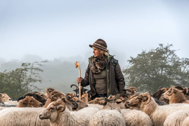 Woman herding sheep Sheep early morning at sunrise Female Shepherd and flock of sheep at a foggy sunrise in the woods, looking towards the sunrise herding stock pictures, royalty-free photos & images