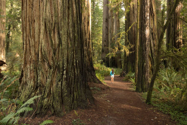 Woman hiker explores old growth forest Redwood National Park California stock photo