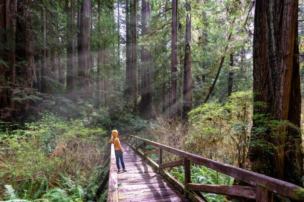Woman hiker explores  Redwood National Park California Woman hiker explores  Redwood National Park California redwood tree stock pictures, royalty-free photos & images