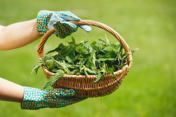 Woman holding a basket of fresh stinging nettles with garden gloves Woman holding a basket of fresh stinging nettles with garden gloves, selective focus stinging nettle stock pictures, royalty-free photos & images