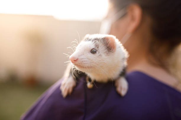 Woman holding a ferret on her shoulder stock photo