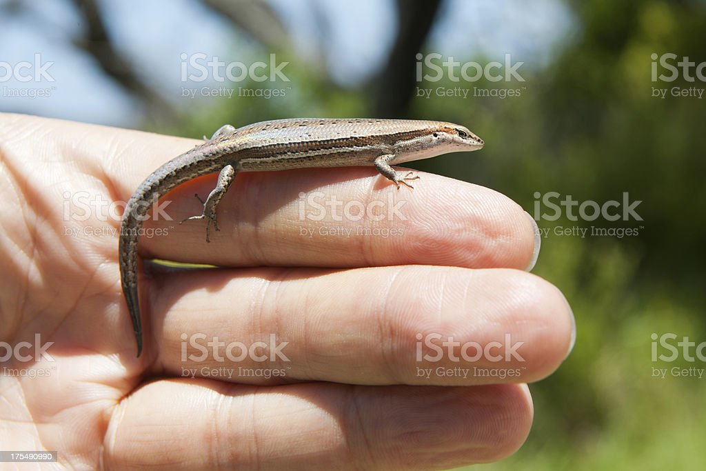 Woman holding a Lizard royalty-free stock photo