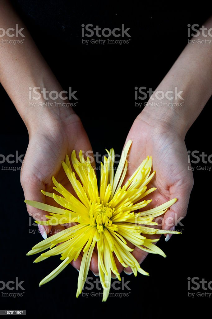woman holding a yellow chrysanthemum stock photo