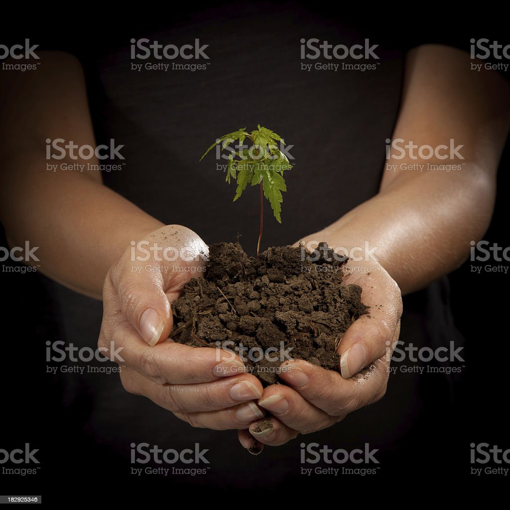 Woman Holding a Young Maple Seedling in Soil royalty-free stock photo