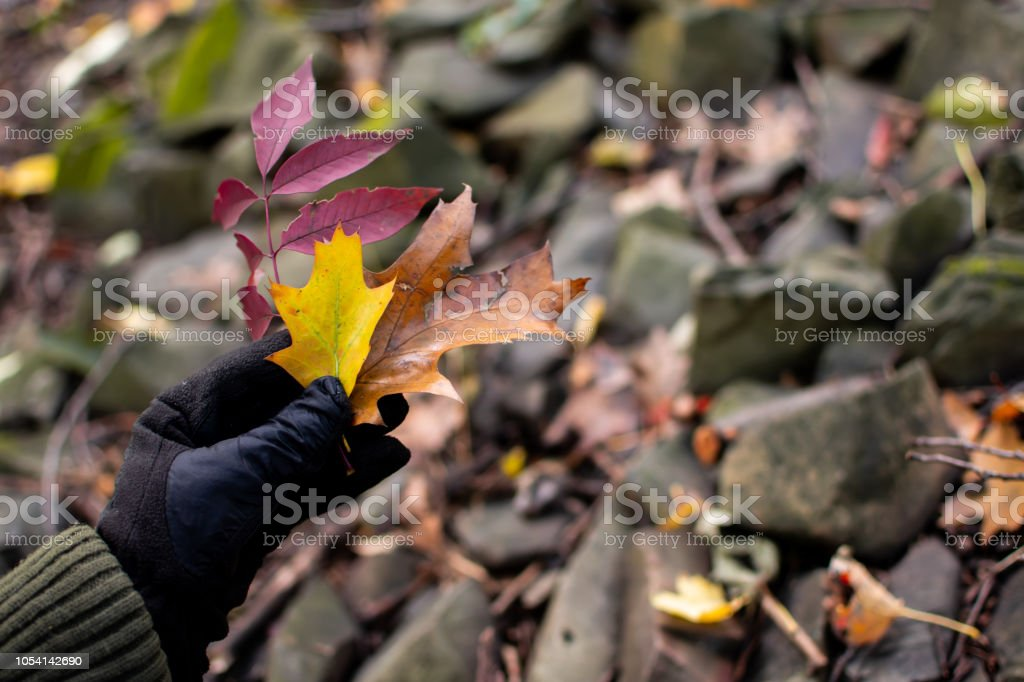 Woman holding autumn leaves in hand on forest hike exploring nature in fall stock photo
