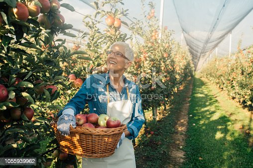 1056015258 istock photo Woman holding basket full of apples 1055939962