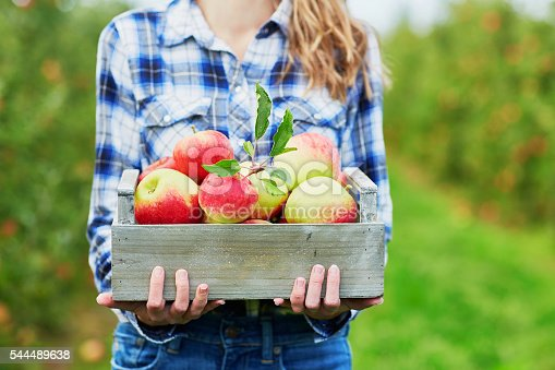 istock Woman holding crate with ripe organic apples on farm 544489638