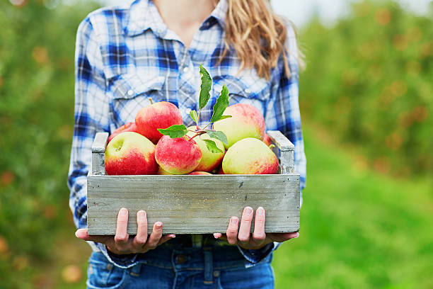 Woman holding crate with ripe organic apples on farm stock photo
