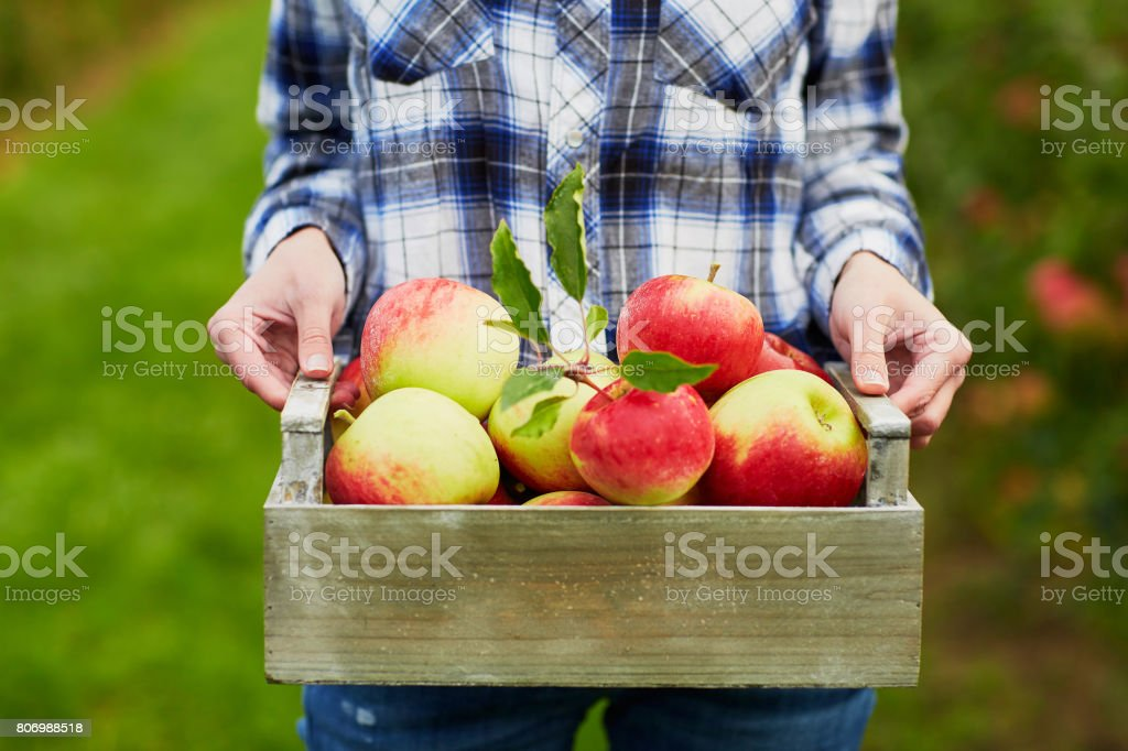 Woman holding crate with ripe red apples on farm stock photo