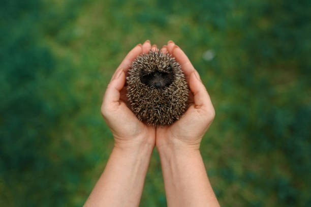 Woman holding cute hedgehog in her palm stock photo