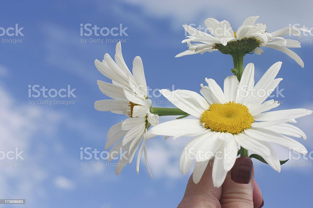 woman holding daisies royalty-free stock photo