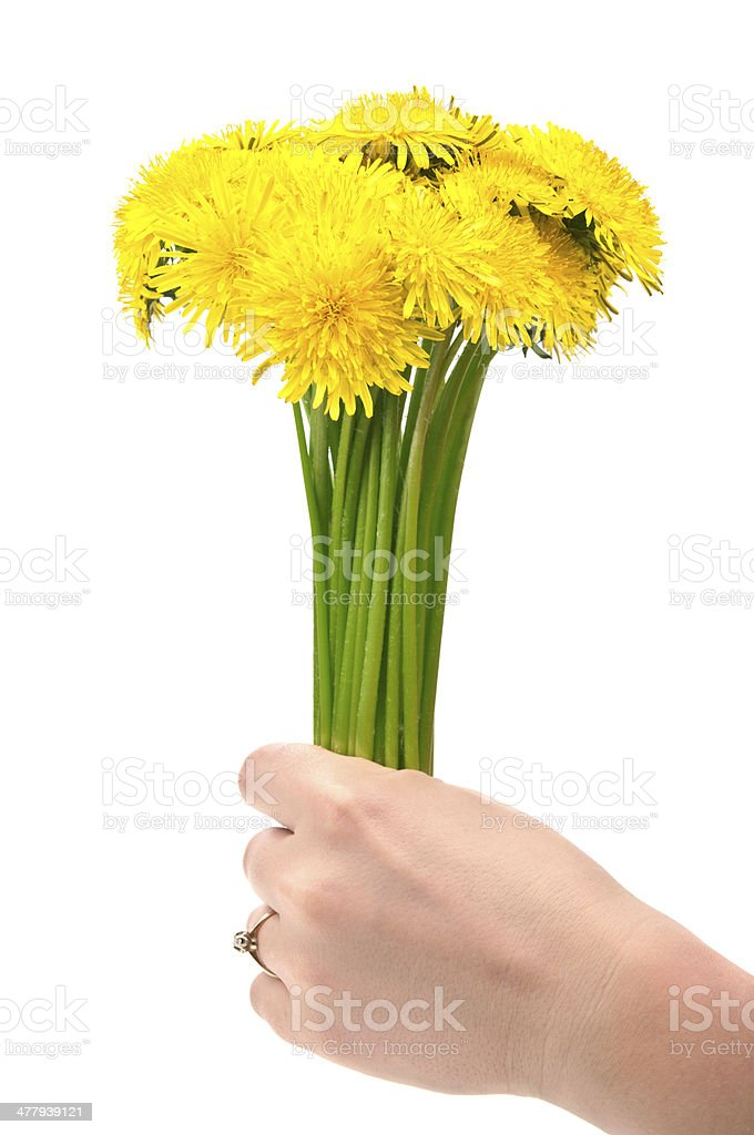 woman holding dandelion flowers royalty-free stock photo