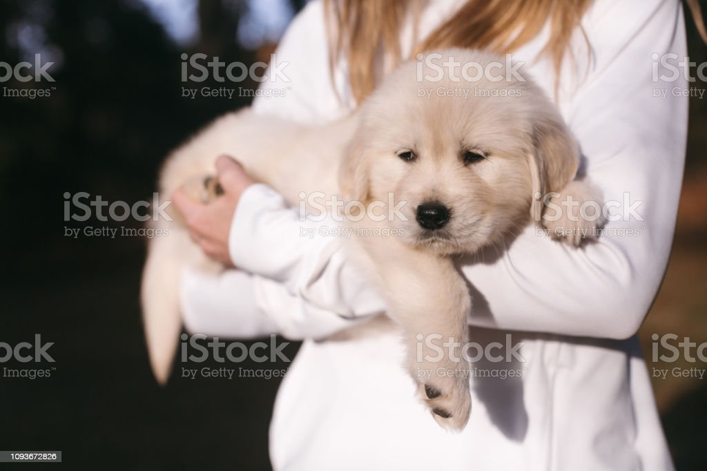 Woman Holding Golden Retriever Puppy Stock Photo Download Image Now Istock