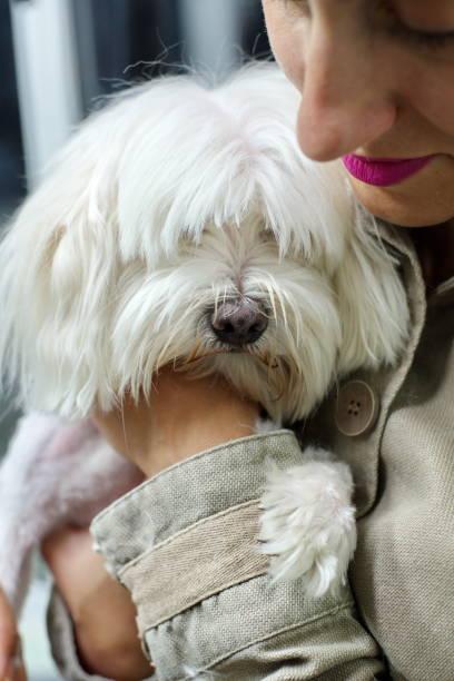 Woman holding Maltese dog stock photo