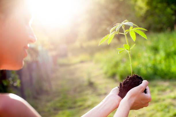 woman holding marijuana plant - пенька стоковые фото и изображения