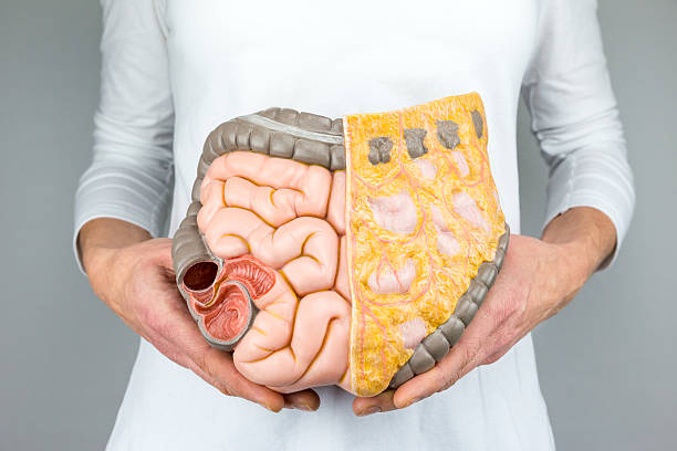 woman holding model of human intestines in front of body - human intestine stock photos and pictures