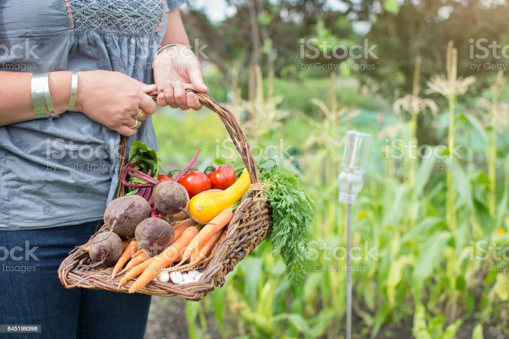 Woman holding traditional trug basket of organic vegetables on allotment. stock photo