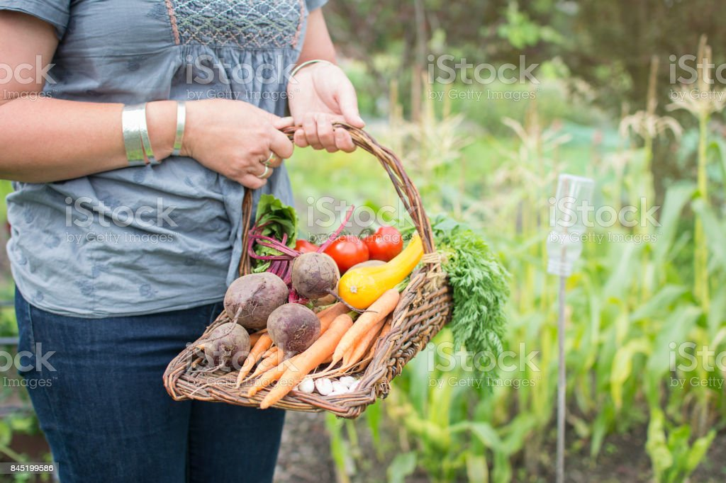 Woman holding trug basket of fresh organic vegetables on allotment. stock photo